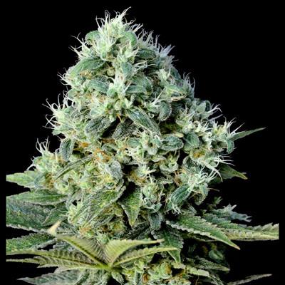 Genehtik Seeds - Santa Bilbo (fem.) 01866