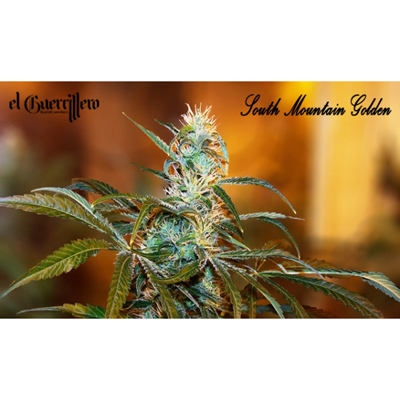 Xtreme Seeds - South Mountain Golden (fem.) extr7