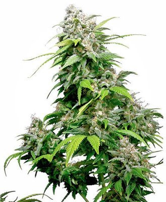 Sensi Seeds - California Indica (fem.) 05424