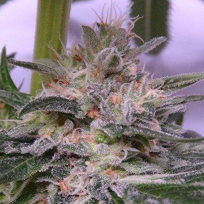 Ace Seeds - Bubba Hash (fem.) 04955