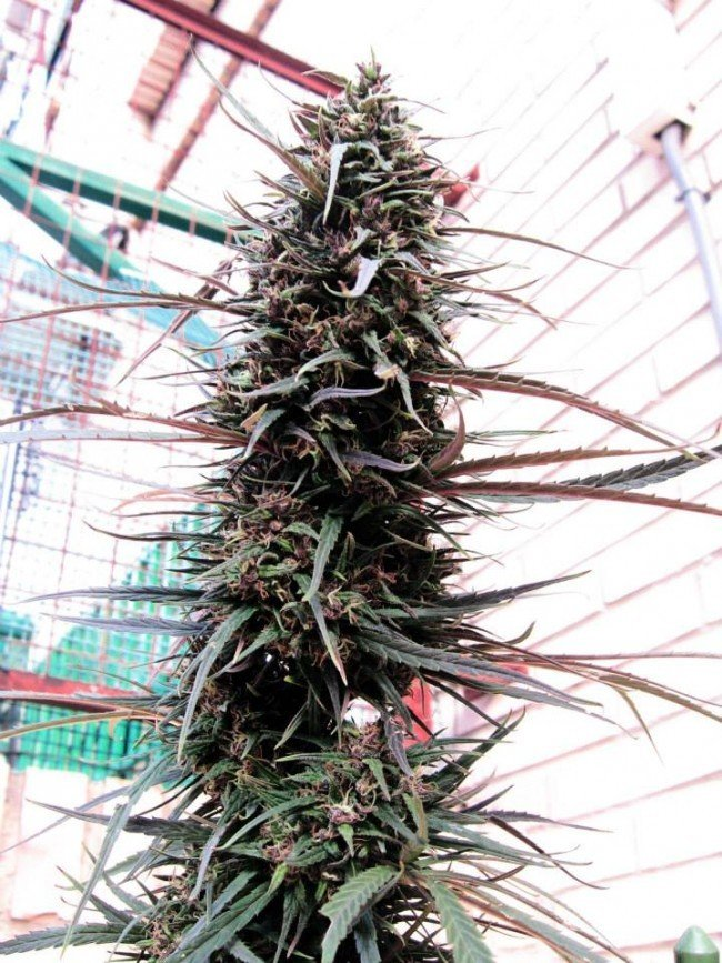Ace Seeds - Purple Haze x Malawi (fem.)