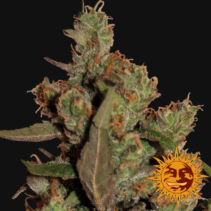 Barney's Farm - CBD Critical Cure (fem.)