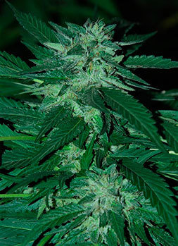 Cannabiogen Seeds - Bubba Delight (reg.) 05690