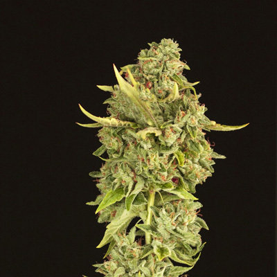 Devil's Harvest Seeds - Hells Bells (reg.) 05697