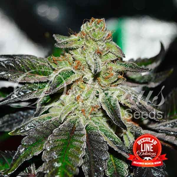 Delicious Seeds - Original Juan Herer (reg.)