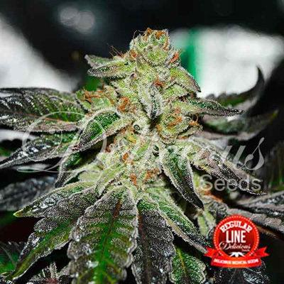 Delicious Seeds - Original Juan Herer (reg.) 05706