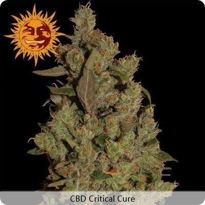 Barney's Farm - CBD Critical Cure (fem.) 02000
