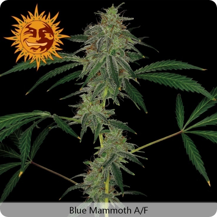 Barney's Farm - Blue Mammoth (auto/fem.)