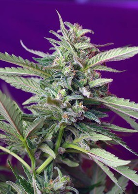 Sweet Seeds - S.A.D. Sweet Afgani Delicious Auto ® (auto/fem.) 02083