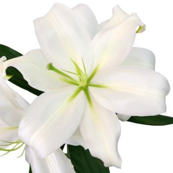 White Oriental Lilies Fresh