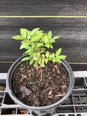 Jaboticaba Tree, Sabara (Plinia cauliflora)