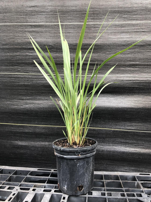 Fakahatchee Grass (Tripsacum dactyloides)