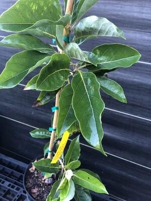 Avocado- Lila (Persea americana) 3 gal