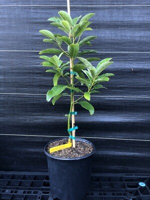 Avocado- Poncho (Persea americana) 3 gal
