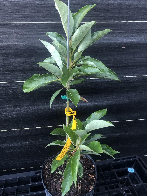 Avocado- Fantastic (Persea americana) 3 gal