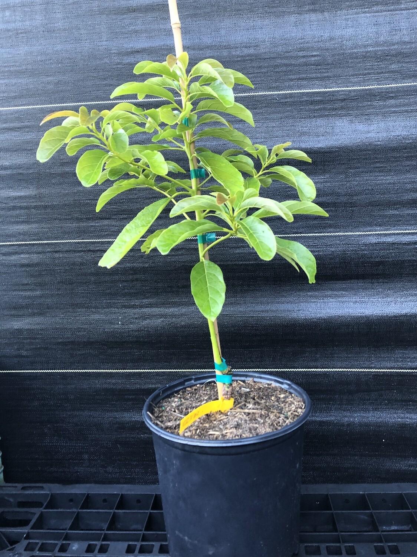 Avocado- Day (Persea americana) 3 gal