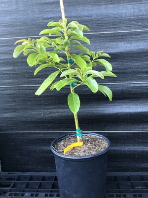 Avocado- Day (Persea americana) 3 gal