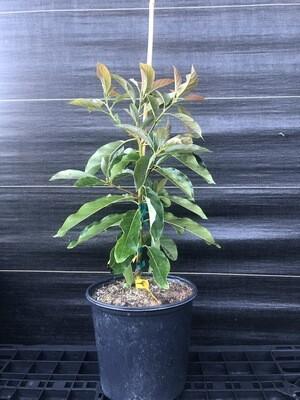 Avocado- Brogdon (Persea americana) 3 gal