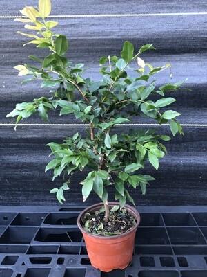 Jaboticaba Tree, Sabara Bonsai (Plinia cauliflora)