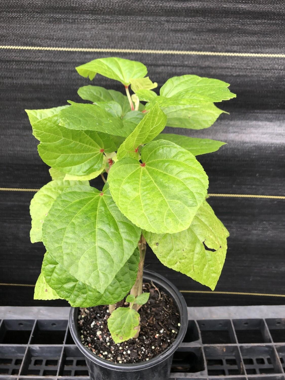 Kiko's Crump Large Leaf Edible Hibiscus (Abelmoschus manihot)