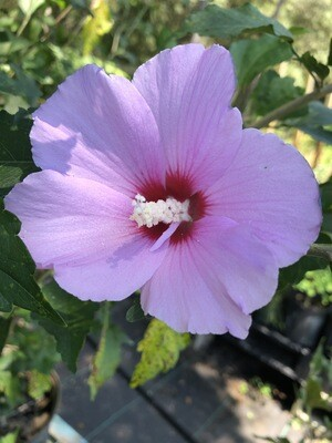 Hibiscus- Rose of Sharon (Hibiscus syriacus)