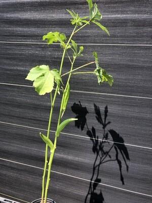 Hibiscus- Okra (Abelmoschus esculentus)