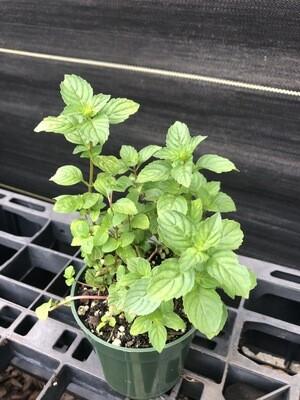 Mint- Ginger (Mentha spicata)