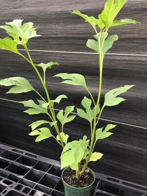 Mexican Sunflower (Tithonia diversifolia)