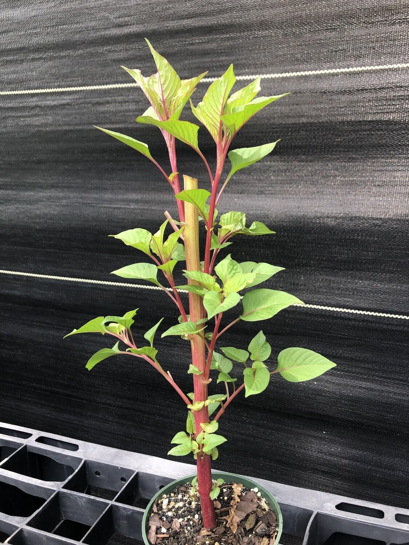 Cockscomb- Purple (Celosia cristata)