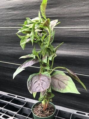 Lagos Spinach (Celosia argentea)