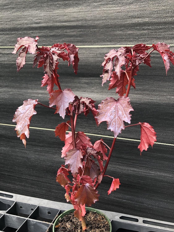 Cranberry Hibiscus (Hibiscus acetosella)