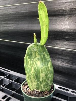 Prickly Pear- Variegated (Opuntia)