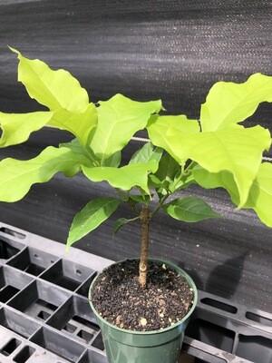 Peanut Butter Fruit (Bunchosia argentea)