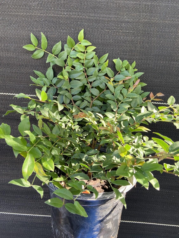 Jaboticaba Tree, Sabara 1GL (Plinia cauliflora)