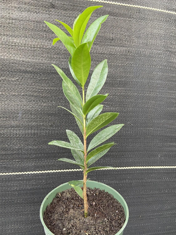 "Cherry of Rio Grande (Eugenia involucrata) 4"""