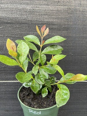 Guava: Cattley/Strawberry Guava Tree (Psidium cattleyanum)
