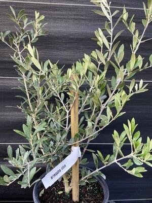 Olive - Arbequina (Olea europaea) 2G