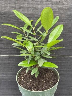 Grumichama (Eugenia brasiliensis) 1G