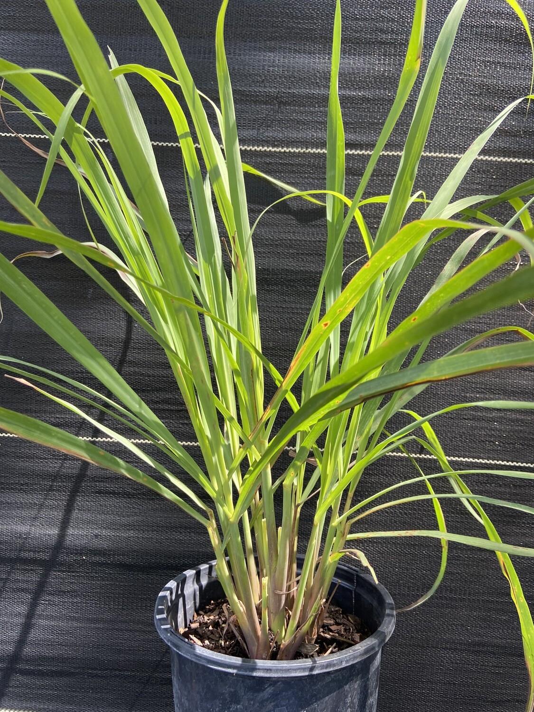 Lemongrass (Cymbopogon citratus) 1G