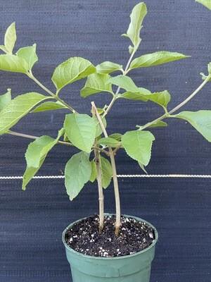 Sweet Almond - Standard (Aloysia virgata)