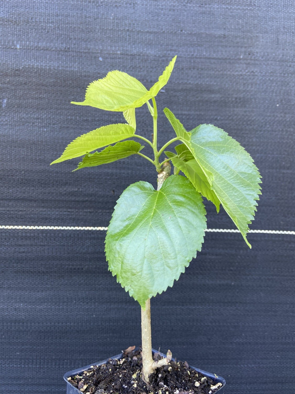 Mulberry - Pakistani (Morus macroura)