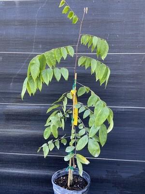 Starfruit - Fwang Tung (Averrhoa carambola ) 1G