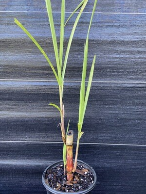 Sugarcane (Saccharum officinarum) 1G