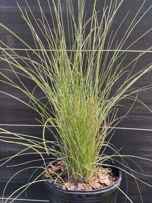 Muhly Grass (Muhlenbergia capillaris) 1G