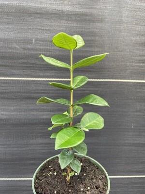 Pitangatuba/Star Cherry Tree (Eugenia neonitida)