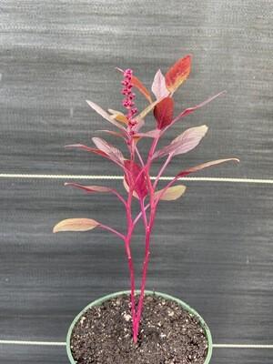 Red Garnet Amaranth (Amaranthus cruentus)