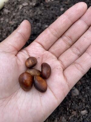 Loquat Seeds - 5 Seeds (Eriobotrya japonica)