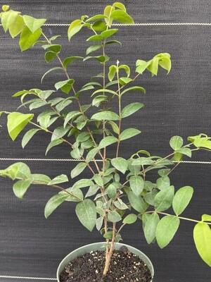 Guabiju (Myrcianthes pungens) 1G