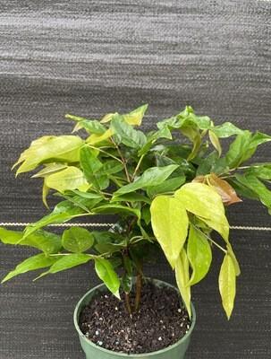 Jaboticaba Tree - White (Plinia aureana)