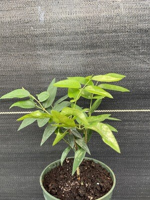 "Jaboticaba Tree - Grimal (Plinia cauliflora) 4"""